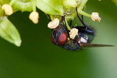 Fly on Ivy 7 (LongInt57) Tags: fly flies bug insect ivy flower blossom bloom stamens pollen macro nature garden red black green yellow blue kelowna bc canada okanagan