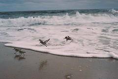 Flying over the Foam (Nsharp17) Tags: nikon nikonfe film 35mm kodak ektar ektar100 ocean waves beach marthasvineyard water birds flight shorebirds sanderling