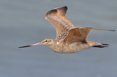 Marbled Godwit (bmse) Tags: marbled godwit orange county flying wings canon 7d2 400mm f56 l bmse salah baazizi wingsinmotion