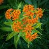 Asclepias tuberosa (Alan Buckingham) Tags: asclepiastuberosa butterflymilkweed butterflyweed flower orange orangemilkweed perennial pleurisyroot rhswisley summer