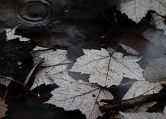 Remembering the Fallen (Boganeer) Tags: leaves leaf remembrance remembranceday memorial armistice armisticeday maple acer puddle sombre