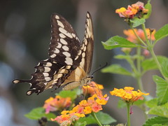 Swallowtail Butterfly & Lantana Blooms (maorlando - God keeps me as I lean on Him!!) Tags: swallowtail lantana blooms autumn creation texas usa