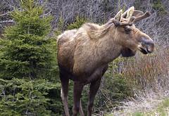 Young Bull Moose, Newfoundland (klauslang99) Tags: nature naturalworld northamerica moose klauslang bull newfoundland animal wild