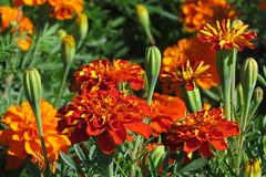 Campo de cempaschil (GeorgiaStereo) Tags: flores campo anaranjado naturaleza cempaschil morelos mxico canon color