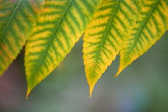 Four Sumac Leaves (imageClear) Tags: sumac leaves four beauty nature fall autumn sheboygan wisconsin macro aperture nikon d500 105mm imageclear flickr photostream