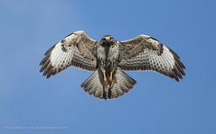 Common Buzzard Pale Phase (Steven Mcgrath (Glesgastef)) Tags: common buzzard pale phase raptor bird prey glasgow scotland uk wildlife wild hawk flight scottish europe buteo