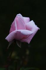 DSC_3200 (PeaTJay) Tags: nikond750 reading lowerearley berkshire macro micro closeups gardens outdoors nature flora fauna plants flowers rose roses rosebuds