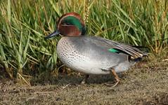 Teal 231016 (4) (Richard Collier - Wildlife and Travel Photography) Tags: birds britishbirds british wildlife naturalhistory teal lodmoor rspbreserve rspb ngc