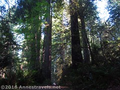 Sunlight through the Redwoods1 (Anne's Travels) Tags: redwoodnationalpark redwoods ladybirdjohnsongrove california