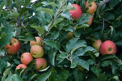 ckuchem-2458 (christine_kuchem) Tags: apfelplantage biolandwirtschaft erntezeit landbau landwirtschaft naturhof obstplantage biologisch obstbã¤ume reif ãpfel