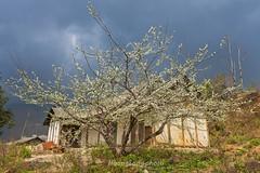 K0419.0214.Ô Qúy Hồ.Bản Khoang.Sapa.Lào Cai (hoanglongphoto) Tags: asia asian vietnam northvietnam northwestvietnam outdoor landscape scenery vietnamlandscape vietnamscene sapalandscape sapascene tree plant flower plumblossom treeplumblossom home house sky spring sunlight sunny afternoon sunnyafternoon canon canoneos1dsmarkiii tâybắc làocai sapa bảnkhoang ôquýhồ ngoàitrời buổichiều nắng nắngchiều phongcảnh cây hoa hoamận câymận nhà ngôinhà bầutrời mùaxuân phongcảnhsapa hoamậnsapa canonef35mmf14lusmlens