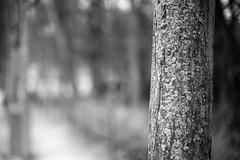 (pas le matin) Tags: blackandwhite bw travel nb noiretblanc voyage world bruxelles trunk monochrome dof belgie belgique belgium brussels tronc canon 5d canon5dmkiii 5dmkiii