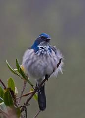 Western scrub-jay - Aphelocoma californica - (JL Boyer) Tags: westernscrubjay aphelocomacalifornica jay jlboyer bird scrubjay california feather