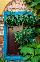 Old wooden blue framed door (yuliakupeli) Tags: aegean architecture attraction blue bougainvillea buildings cityscape europe flowers green hibiscus narrow nobody old outdoor plant shrubs sky small sunny town traditional travels village vine walls washed white