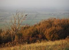 """""""Devil's Dyke"""". Crow. (debs-eye) Tags: devilsdyke southdowns crow"""