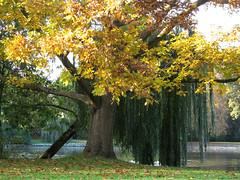 Trauerweide (MKP-0508) Tags: biebrich park schlosspark automne autumn herbst fall fleuve river biebricherschlosspark trauerweide weide weepingwillow saulepleureur