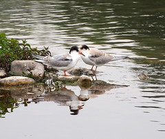 a pair of terns (quarzonero ...Aldo A...) Tags: terns sterne river nature birds coth coth5 sunrays5