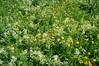 DSC03748 (sergeyudalov) Tags: summer summertime лето outdoor landscape ландшафт grass трава green зелёный meadow луг поляна луговина field поле plants растения serene безмятежность bright яркий wildflower полевойцветок yellow жёлтый