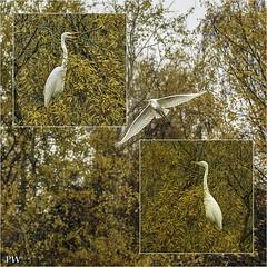 Pirsch auf Seidenreiher in freier Natur (peterphot) Tags: reiher waterbirs wasservögel wildlife natur sachsen sony tamron600