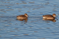 Teal (f) (robin denton) Tags: teal ducks duck bird wildlife yorkshirewildlifetrust wildlifetrust nature birds waterbird northcavewetlands anascrecca yorkshire