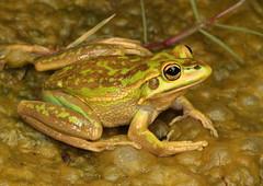 Green and Golden Bell Frog (Litoria aurea) (Stephen Mahony) Tags: litoriaaurea litoria aurea greenandgoldenbellfrog green golden bell frog