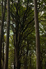 beech growth branches (DidaK) Tags: germany rugen beech forest trees