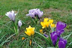 crocus (welenna) Tags: switzerland spring fruhling flowers crocus blumen bloom blhen