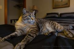 SLO Cat 1 (flygrl67) Tags: slo sanluisobispo animal bed blue cat coat domestic eyes fur furry house luxurious pet sprawl striped