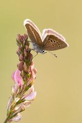 Streifenbluling-Bluling  Damon blue Polyommatus damon (Bluesfreak) Tags: insekten schmetterlinge tagfalter streifenblulingbluling damonblue polyommatusdamon butterflies lepidoptera rhn