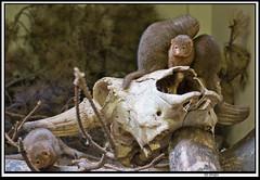 mongoose1 (The_Jon_M) Tags: october 2016 oct october2016 blackpool zoo blackpoolzoo lancashire uk england animals mongoose