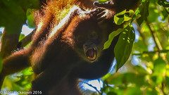 spider monkey 2 (scottymac_photography) Tags: outdoor wildlife corcovado costarica forest nature spidermonkey wild
