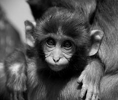 monkeys in kathmandu (wojofoto) Tags: kathmandu nepal zwartwit blackandwhite swayambhunath stupa monkey monkeys affe aap wojofoto wolfgangjosten 2016