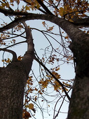 Looking Up At Autumn Leaves. (dccradio) Tags: lumberton nc northcarolina robesoncounty outdoors outside nature tree trees foliage sky autumn leaves yellowleaves treetrunk fall