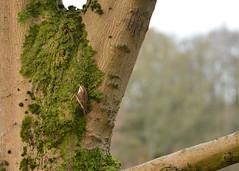 Treecreeper feeding on mossy tree (Laineyb93) Tags: eurasiantreecreeper treecreeper green autumn tree moss winter birds feeding nikon wildlife towneley burnley lancashire