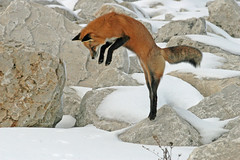 Fascinating Foxes (marylee.agnew) Tags: red fox pounce hunting mouse winter nature canine mammal outdoor