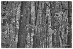 OCTOBER 2016  NM1_1150_015554-522 (Nick and Karen Munroe) Tags: blackandwhite beauty trees forests woods nikond750 nikon nickmunroe nickandkarenmunroe nickandkaren karenick23 karenick karenandnickmunroe karenmunroe karenandnick munroedesignsphotography munroedesigns munroephotography munroe ontario canada blackwhite bw bandw monochrome desaturation desaturated fall autumn brampton heartlakeconservationarea heartlake heartlakeconservation nikon2470f28
