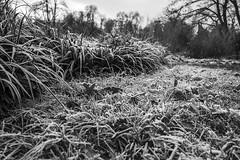 Erster Frost - 0003_Web (berni.radke) Tags: ersterfrost frost raureif wassertropfen rime eisblumen eiskristalle iceflowers icecrystals escarcha