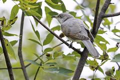 Cuckoo, Yellow-billed (Kelly Colgan Azar) Tags: coccyzusamericanus yellowbilledcuckoo september migration omaha ne usa