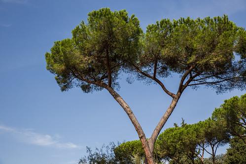 Umbrella Pine Trees