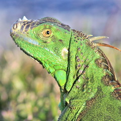 Green Iguana portrait 20161129 (Kenneth Cole Schneider) Tags: florida miramar backyard