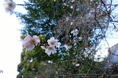 DSC02837 (MrSUIZOU) Tags: 京都 紅葉 北野天満宮 平野神社 十月桜