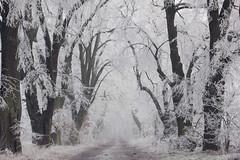 Frost (nettisrb) Tags: frost allee path bäume tree natur naturerlebnis nature forrest wald wood waldweg linde landscape landschaft winterscene winter