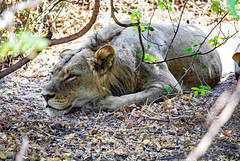 """In the jungle, the mighty jungle, the Lion sleeps tonight"" (werner boehm *) Tags: wernerboehm lion chobenp borswana safari tier animal bigfive"