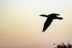 Cormoran à aigrette (yveshebert) Tags: oiseaux oiseauxduquébec outaouais ottawariver cormoranaaigrette birds birdsinflight gatineau