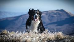 faithful friend (santi_riccardo) Tags: bovaro bernese cane montagne