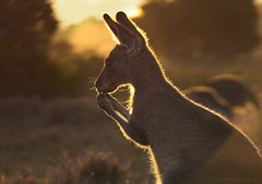 Evening snack_c (gnarlydog) Tags: backlit kangaroo australia adaptedlens jupiter11135mmf4 flare manualfocus vintagelens russianlens sunset nature animal bokeh rimlighting warmlight eveninglight eating