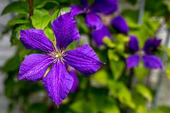 Klematis (Joakim Berndes) Tags: flower purple lila blommor huset augusti blandat klematis tystberga 2013 hemmet