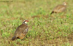 Red-legged Partridge, Perdrix rouge (Alectoris rufa) - Gola del Ter, SPAIN - 2015-08-08 (brun@x - Africa: birds & more) Tags: alectoris alectorisrufa aves avian avifauna catalogne catalunya bird birdwatching d7000 espagne gamebird goladelter oiseau ornithologie ornithology partridge perdrixrouge phasianidae prés redlegged redleggedpartridge rouge spain عصفور ציפור птица πουλί widlife bruno portier brunoportier emporda birdwatcher ornitho ფრინველები uccelloaves