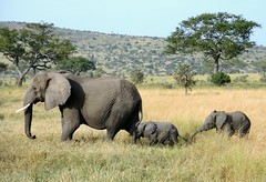 Tanzania (Serengeti National Park) Baby elaphants follow their mum