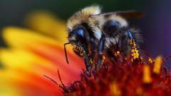 pollens (ronleecc) Tags: macro nature focus bokeh bee tokina manual extentiontubes sony3n